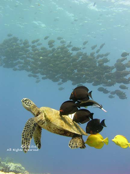 Sea Turtle with Cleaner Fish