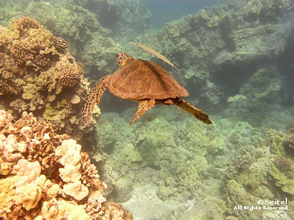 honu and coronet fish